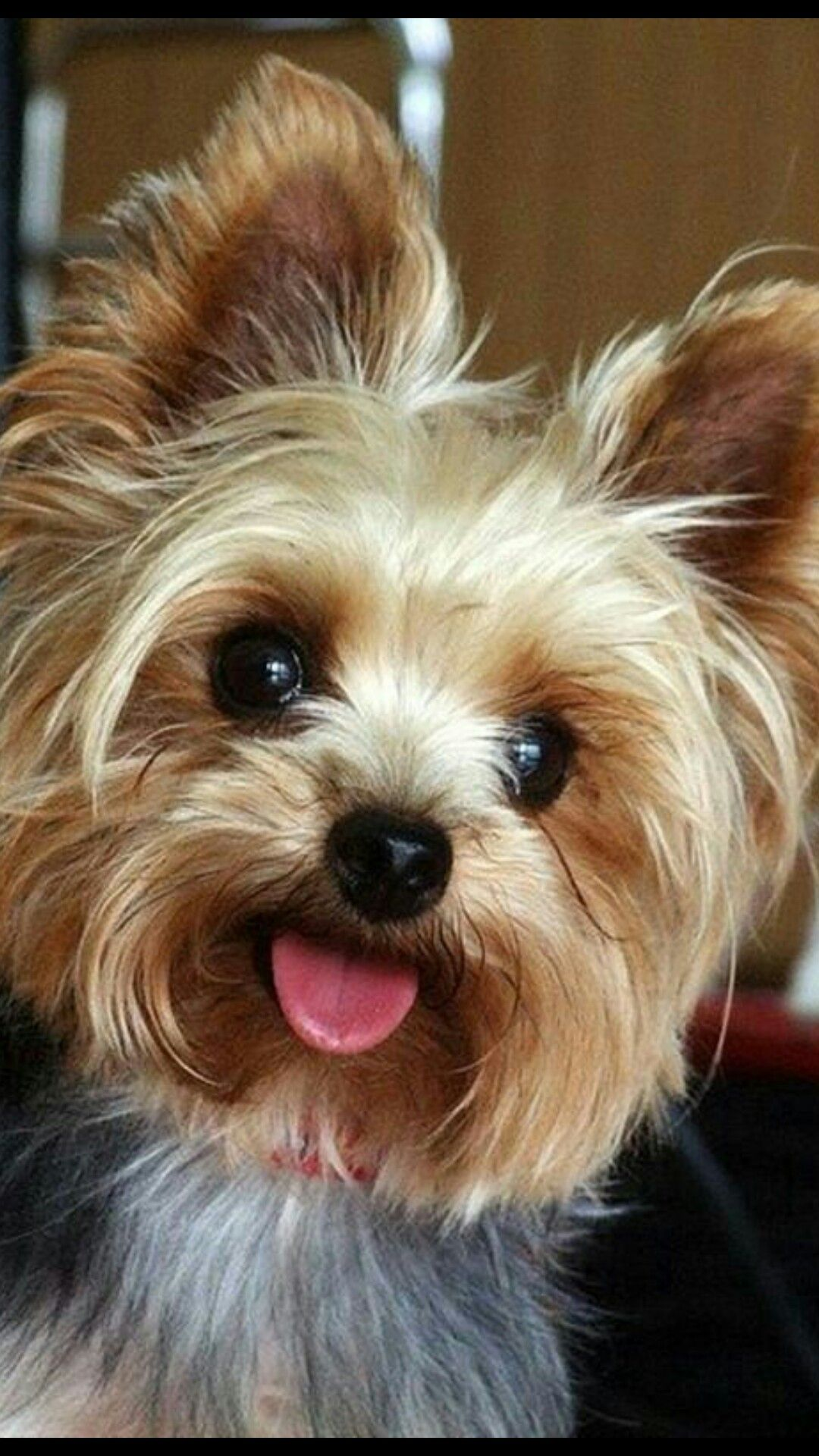 Cute Yorkie Haircut Adorable Dog Cute Dog Haircuts Pinterest