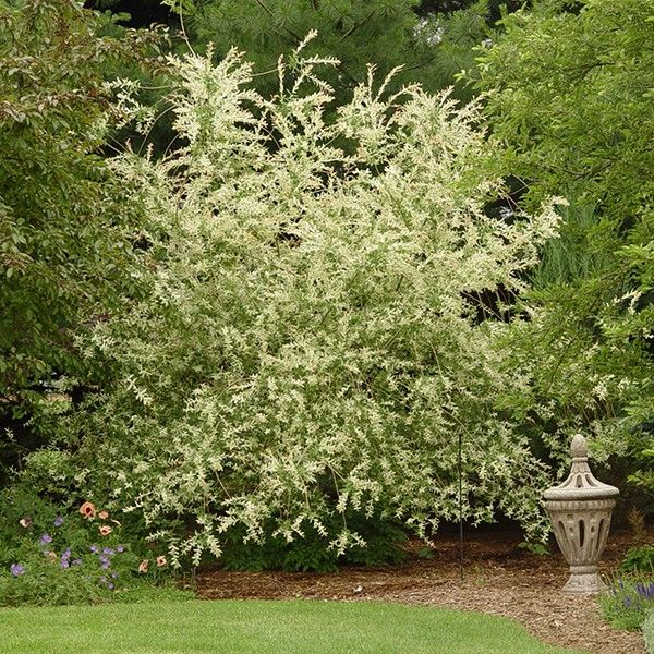 The Dappled Willow Is A Unique Tri Colored Shrub Exhibiting Pink Green And White Variegated Foliage Young Stems Have A Pink Col Dappled Willow Plants Shrubs