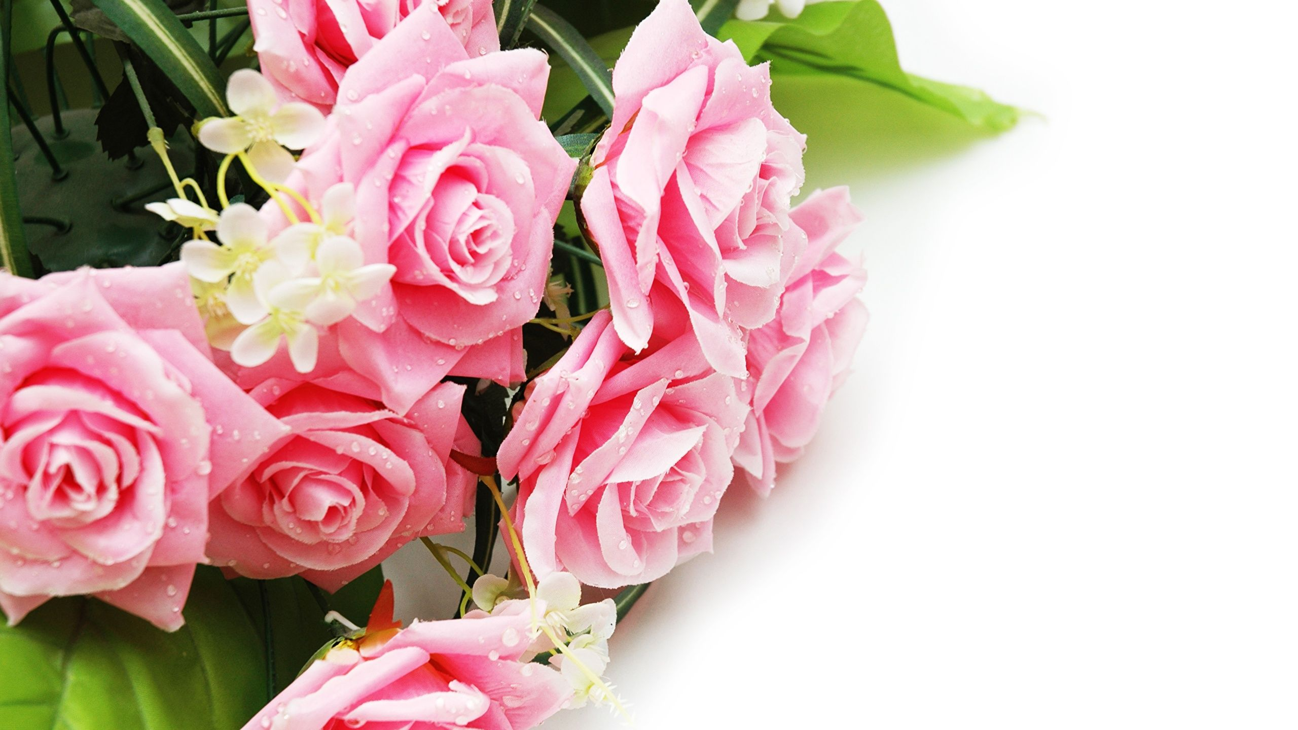 Image roses pink color flowers white background 2560x1440 rose art image roses pink color flowers white background 2560x1440 pink rose flower pink roses rose mightylinksfo