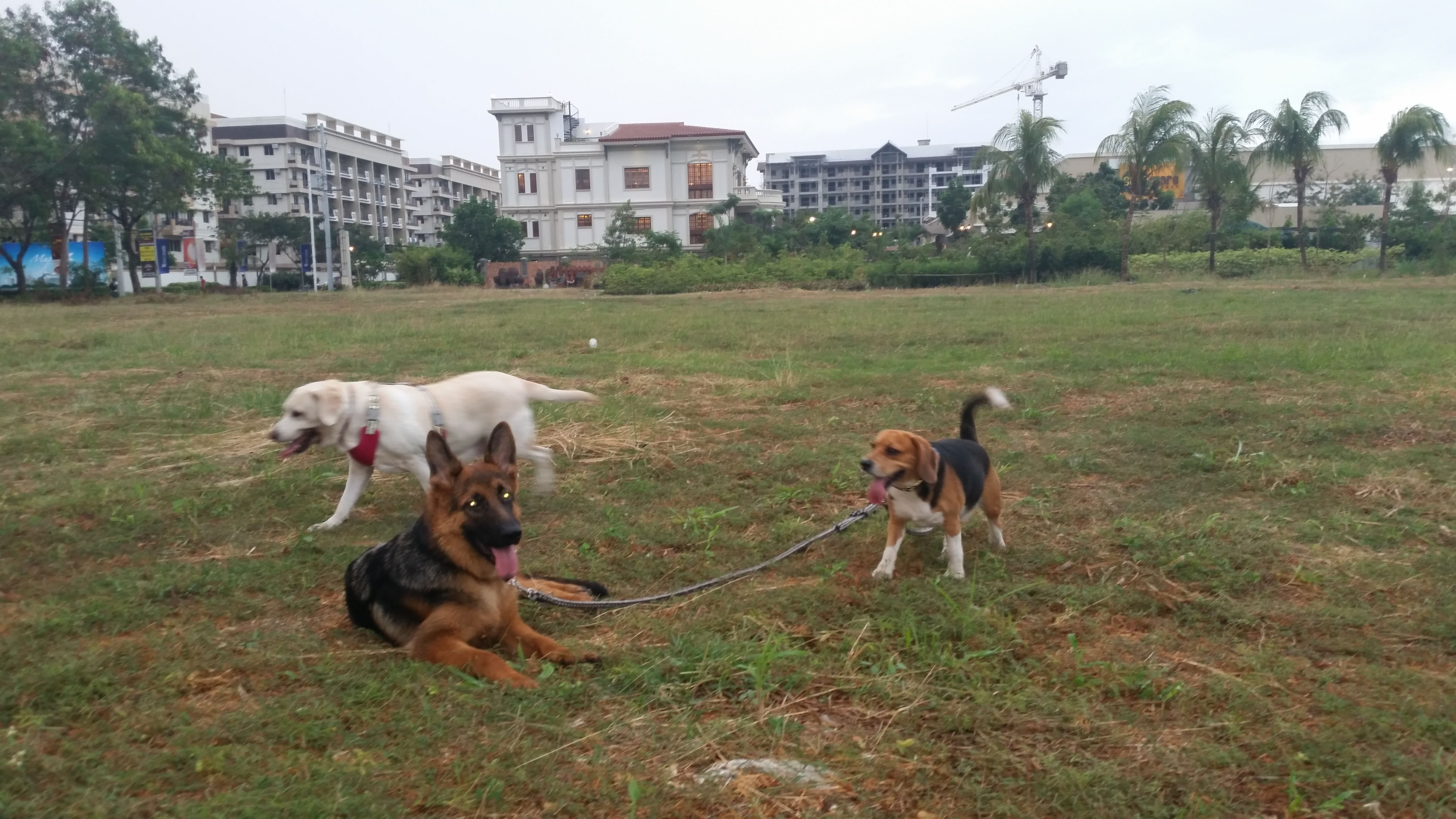 Playdate With Ginger Happyboys Playdate Park Gsd Beagle