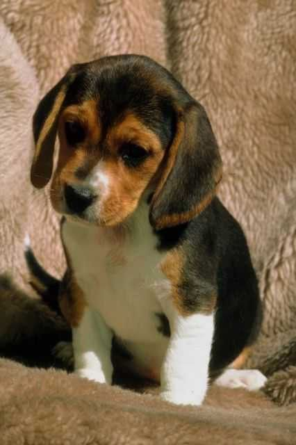 Pin By Royal Canin On Puppies Beagle Puppy Cute Beagles