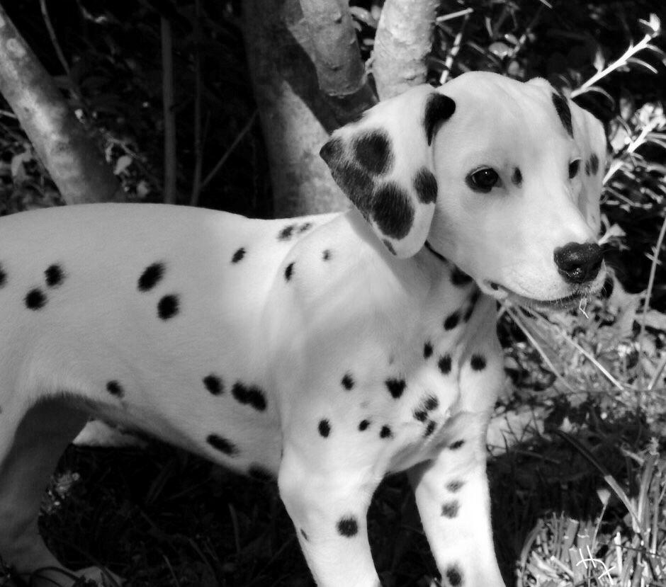 Dalmatian Puppies For Sale Nakuru Kenya