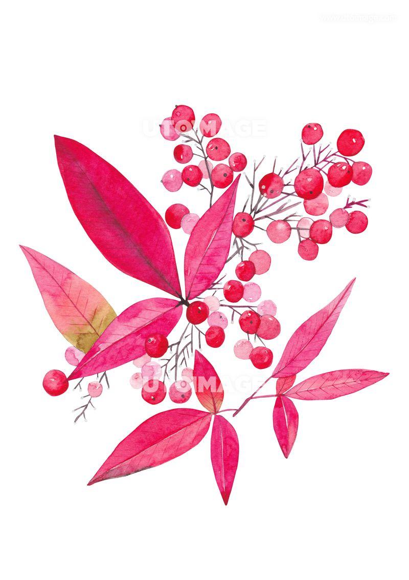 일러스트 빨간 잎과 열매 수채화 C190704 유자디자인 일러스트 식물 자연 배경 백그라운드 수채화 수작업 일러스트레이션 보타니컬 에코 그림 시즌 계절 겨울 크리스마스 성탄절 빨간색 붉은색 빨간잎 가을 빨간 크리스마스 디자인 수채화
