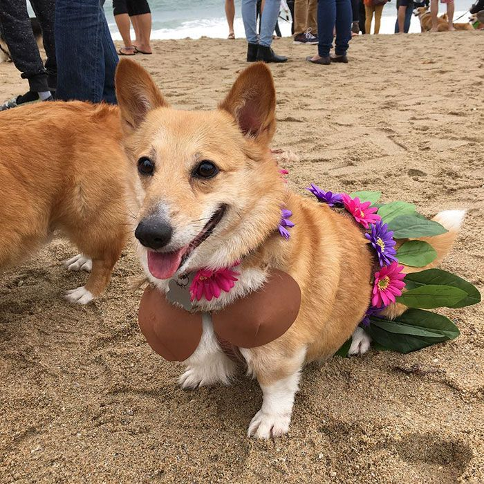 600 Corgis Had A Massive Beach Pawty This Weekend No Cats Allowed Corgi Corgi Dog Dog Beach