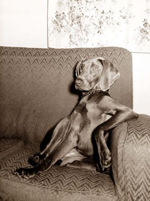 Weimaraner waiting for a cocktail...