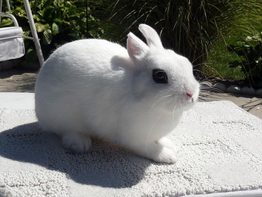 Dwarf Hotot Rabbits Rabbit Breeds Dwarf Hotot Breeds