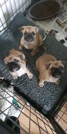 Droll Pug Husky Mix For Sale In 2020 Dog Crossbreeds Pugs Pug