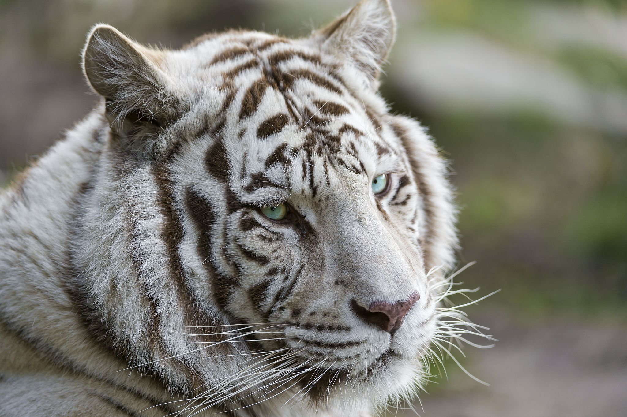 Animal white tiger wallpaper new projects pinterest tiger