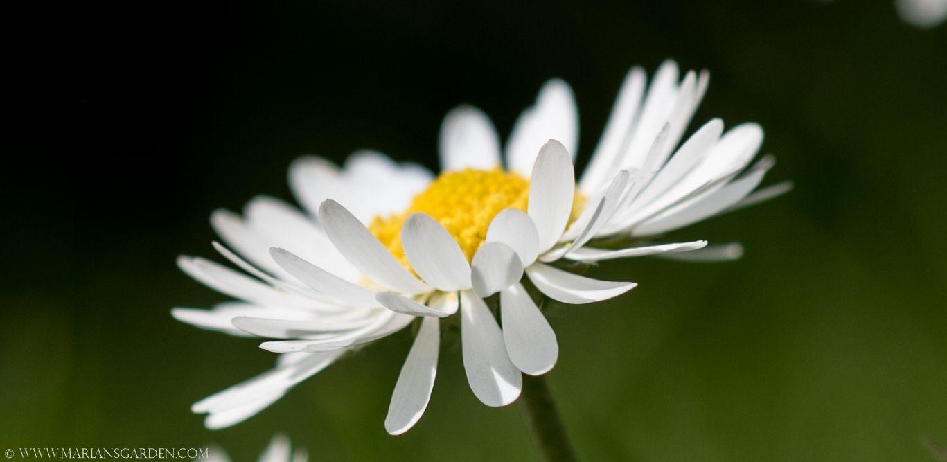 A Daisy In My Lawn Sprinkled Like Stars Flowers Pinterest