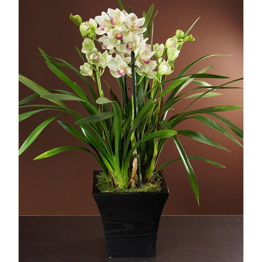 Cymbidium Orchid Plants Care Tips Orchid Plant Care Orchid Plants Cymbidium Orchids Care