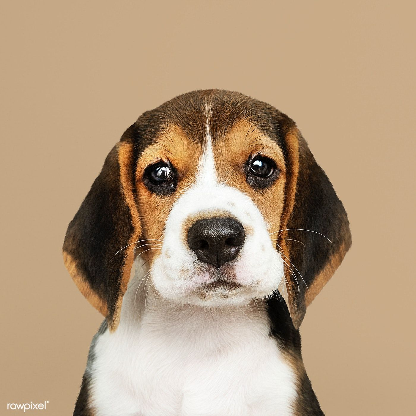 Download Premium Photo Of Adorable Beagle Puppy Solo Portrait