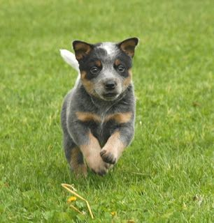 Breeds Dog Blue Heeler Dog Training And Activities Australian
