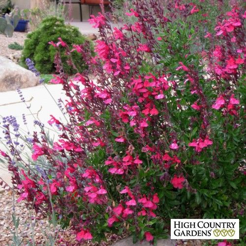 Salvia greggii cold hardy pink high country gardens for Hardy low maintenance shrubs