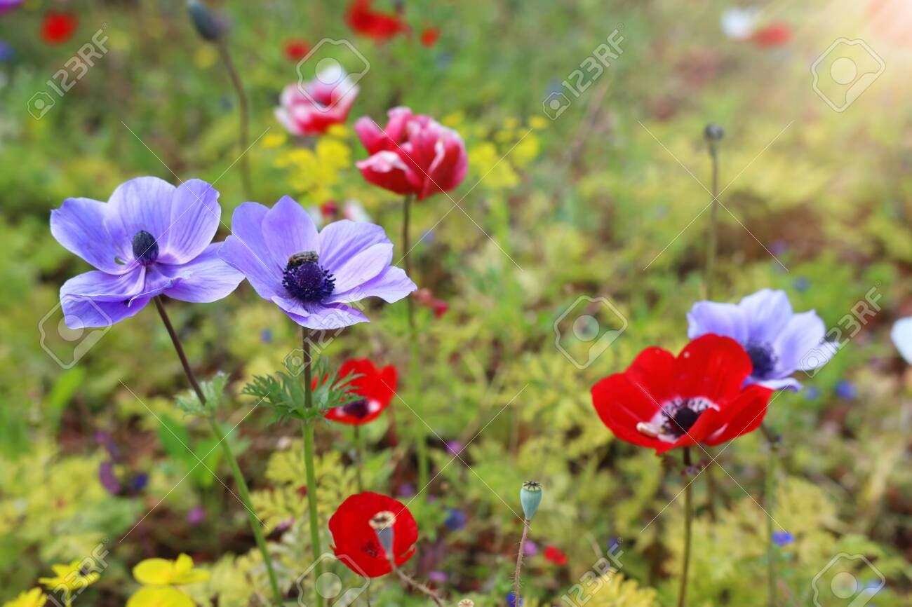 Photo of colorful poppies in the green field Stock Photo ,