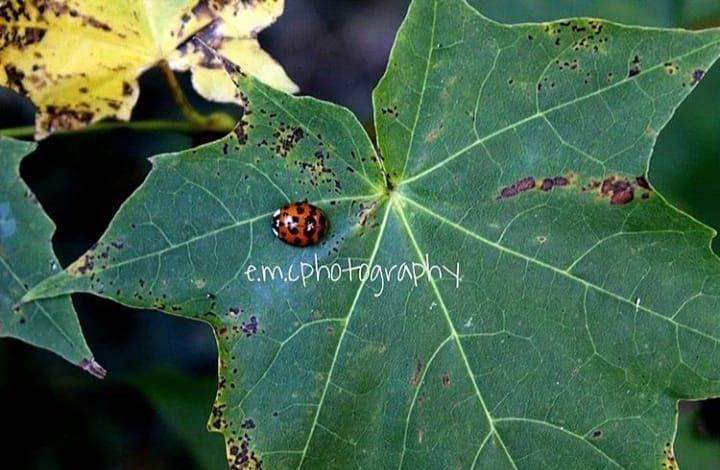 Ladybird Ladybug Small Cuye Flower Plant Bug Red Grass