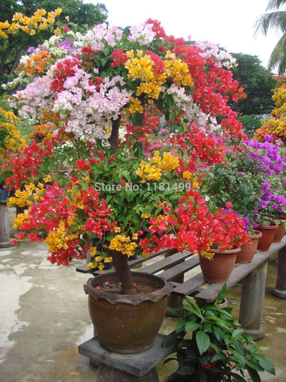 Buganvilla en maceta ideas para el exterior flores for Arbustos para macetas exterior