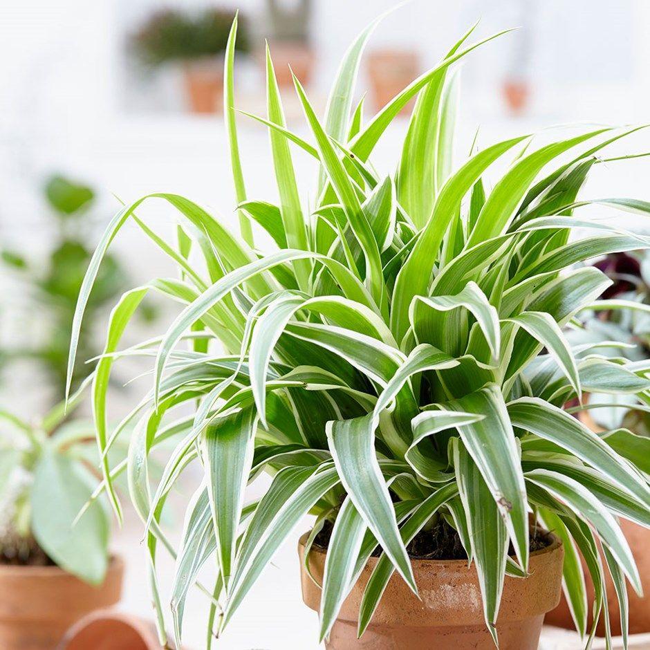 Chlorophytum comosum 'Ocean (PBR)' spider plant Plants