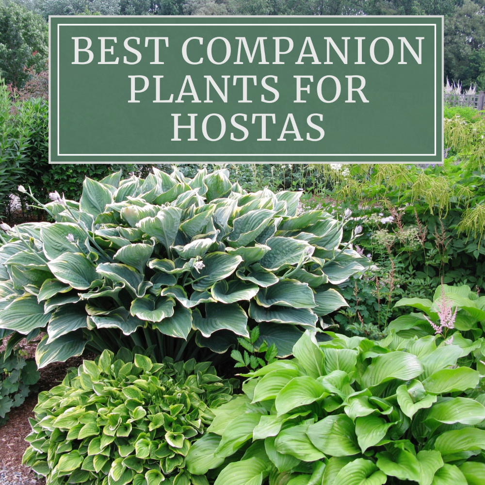 12 Best Companion Plants for Hostas - Longfield Gardens