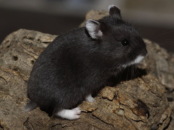 Russian Dwarf Hamster Campbell Hamster Colors Russian Dwarf