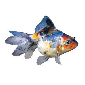 Calico Ryukin Goldfish Live Fish Petsmart Pet Fish Ryukin Goldfish Goldfish