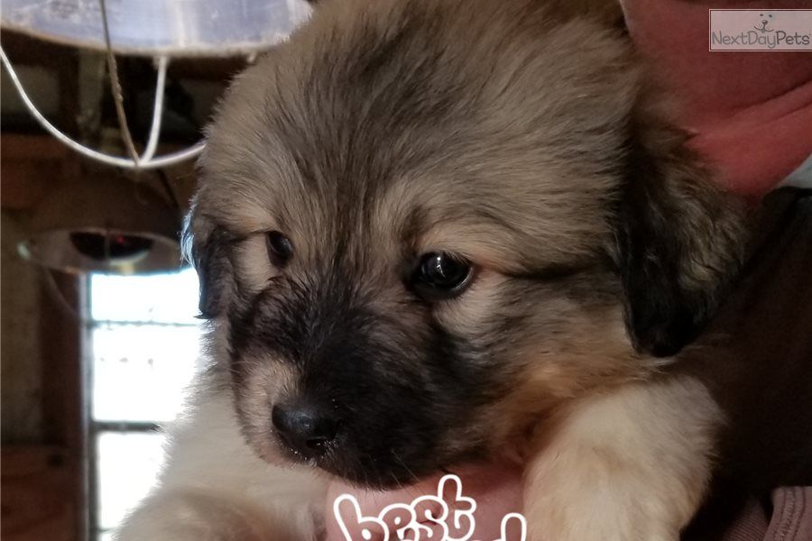 Cinch F2 Great Pyrenees Puppy For Sale Near Dayton Springfield