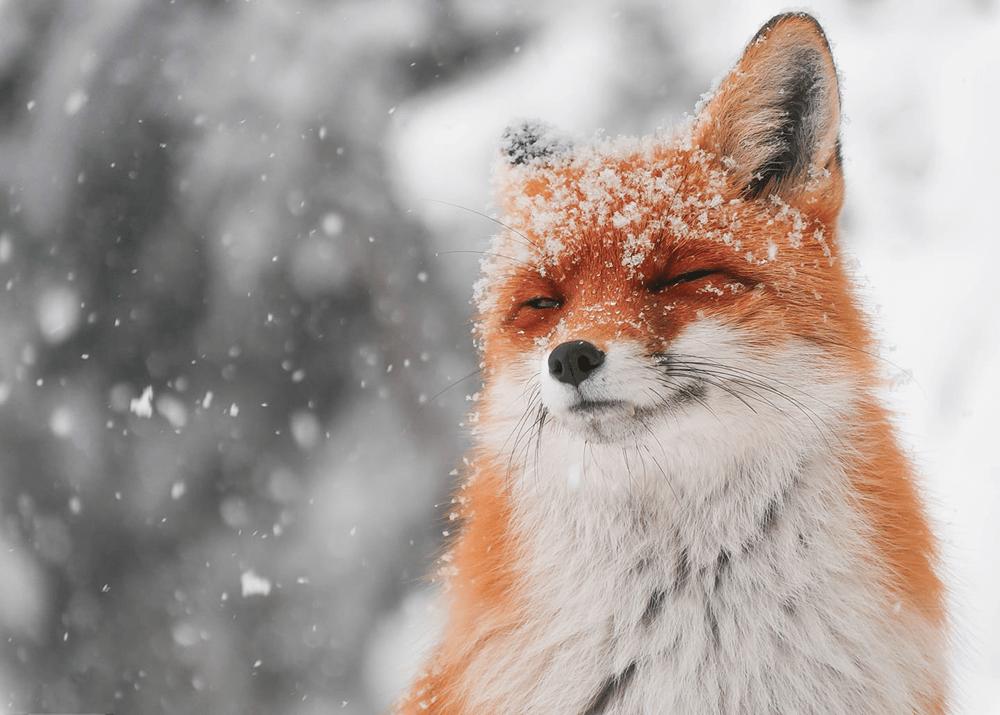 Гиф лисы в снегу