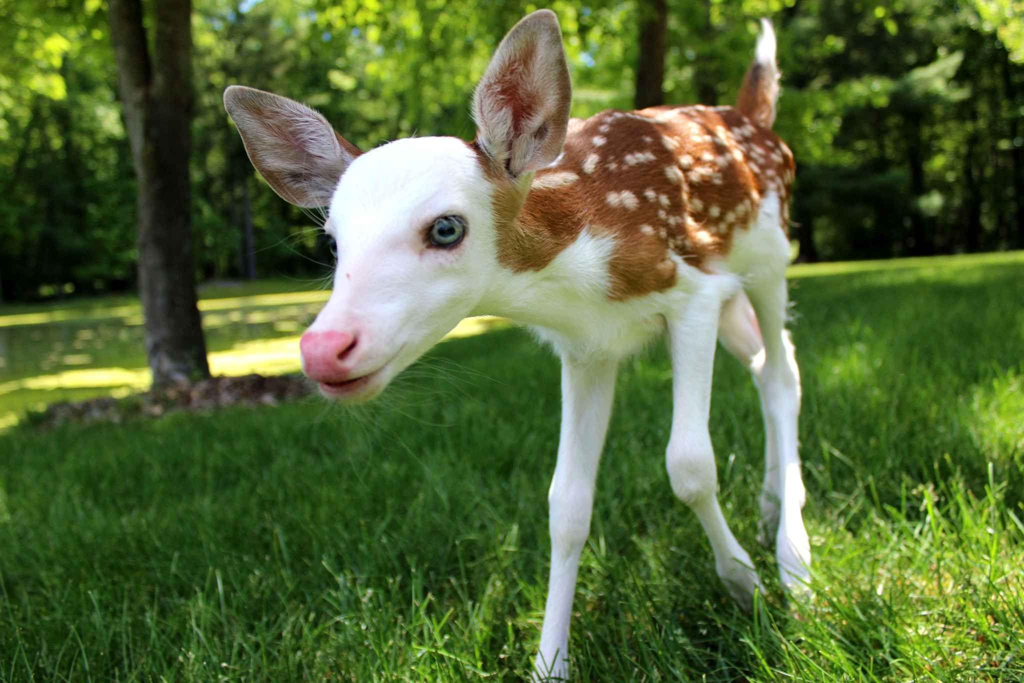 Este cervo é muito raro por causa de seu rosto branco. Ele foi recuperado após ter sido rejeitado por sua mãe.