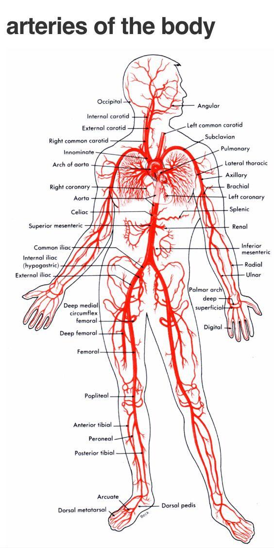 Arteries | For the love of NURSING! | Pinterest | Anatomy, Medical ...