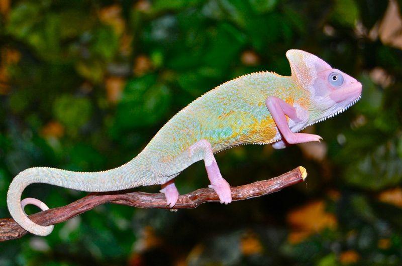 Albino Chameleon | Albinimals | Chameleon, Veiled ...