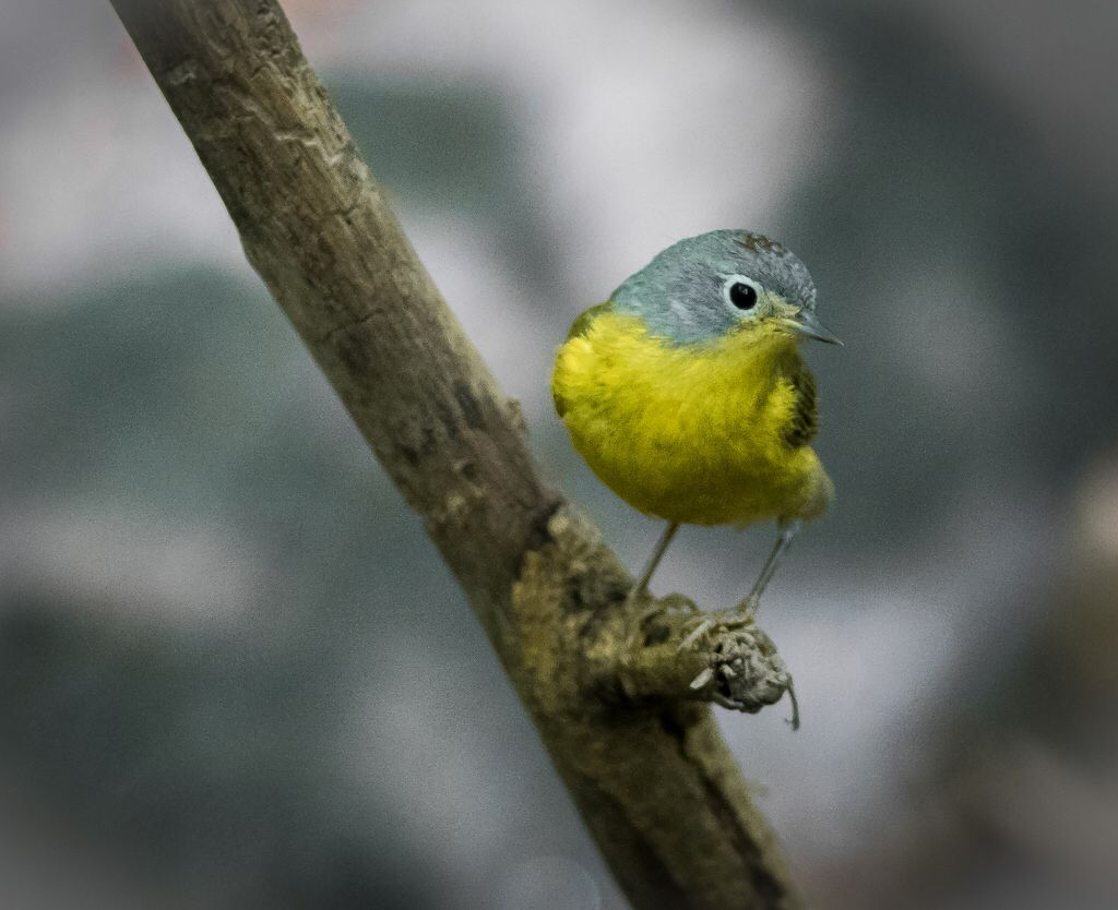 Nashville Warbler (Oreothlypis ruficapilla) - Tanners Spring, Central Park, New York