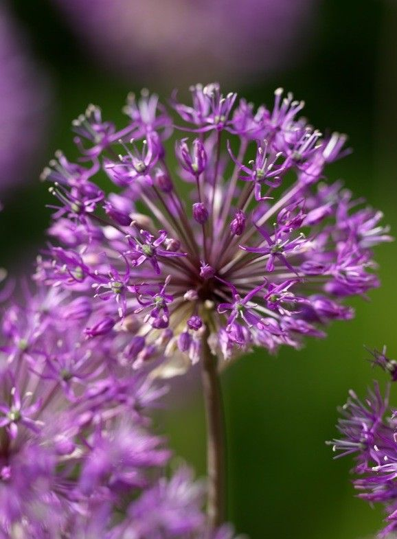 Buy Allium Purple King Flower Bulbs Garden Bulbs Bulb Flowers Flowers