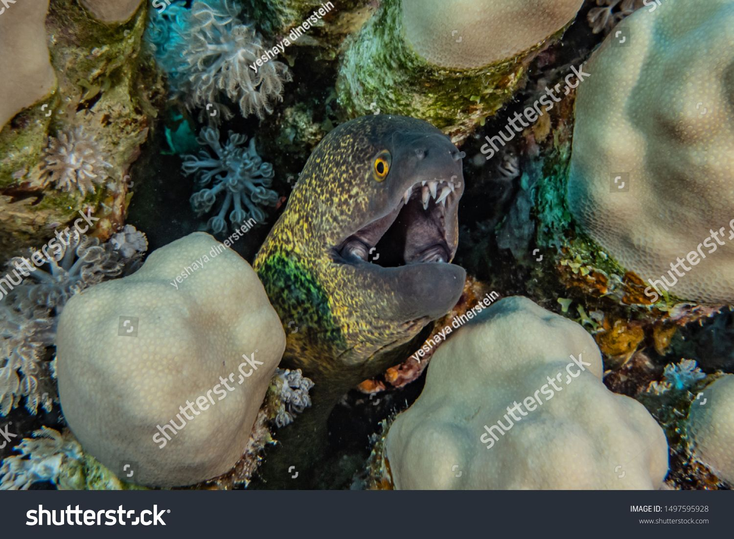 Moray eel Mooray lycodontis undulatus in the Red Sea, eilat israel\n #Sponsored , #Aff, #Mooray#lycodontis#Moray#eel