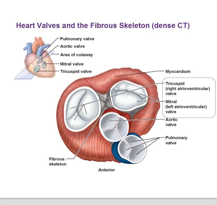 The atrioventricular valve\'s are found between the atria and the ...
