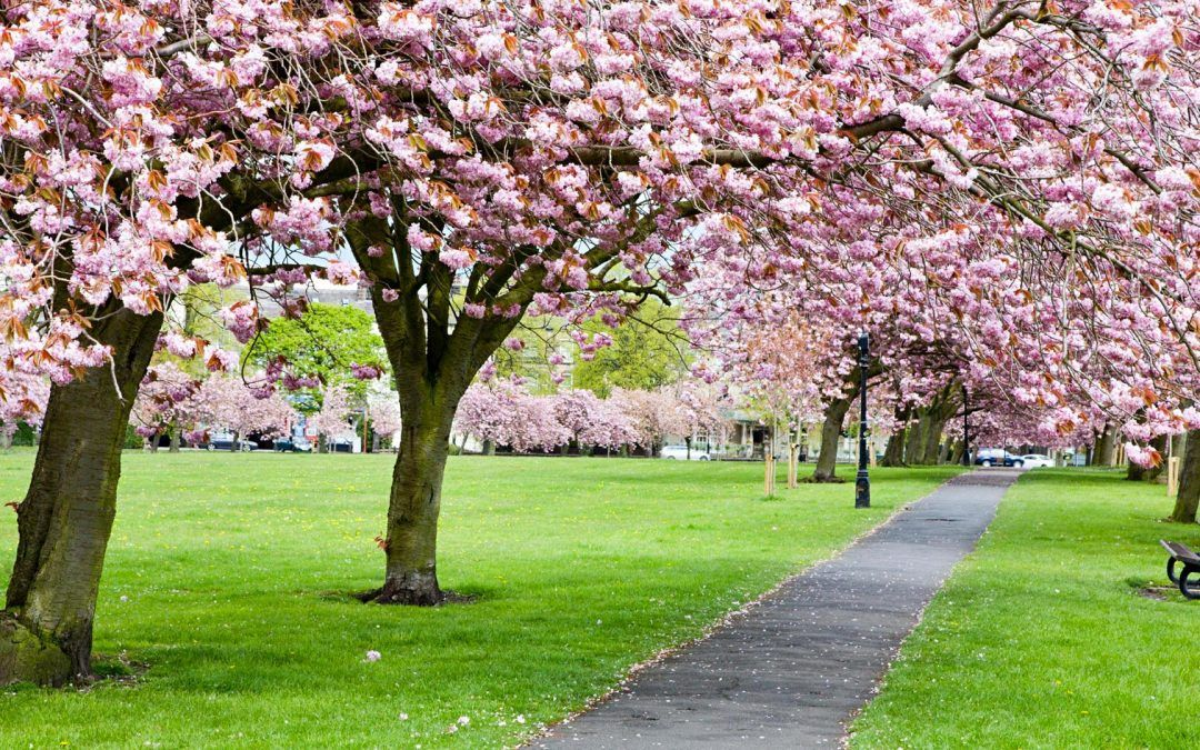 Know The Top 4 Benefits Of Tree Surgery Service In Your Landscape Cherry Blossom Harrogate Blossom Trees
