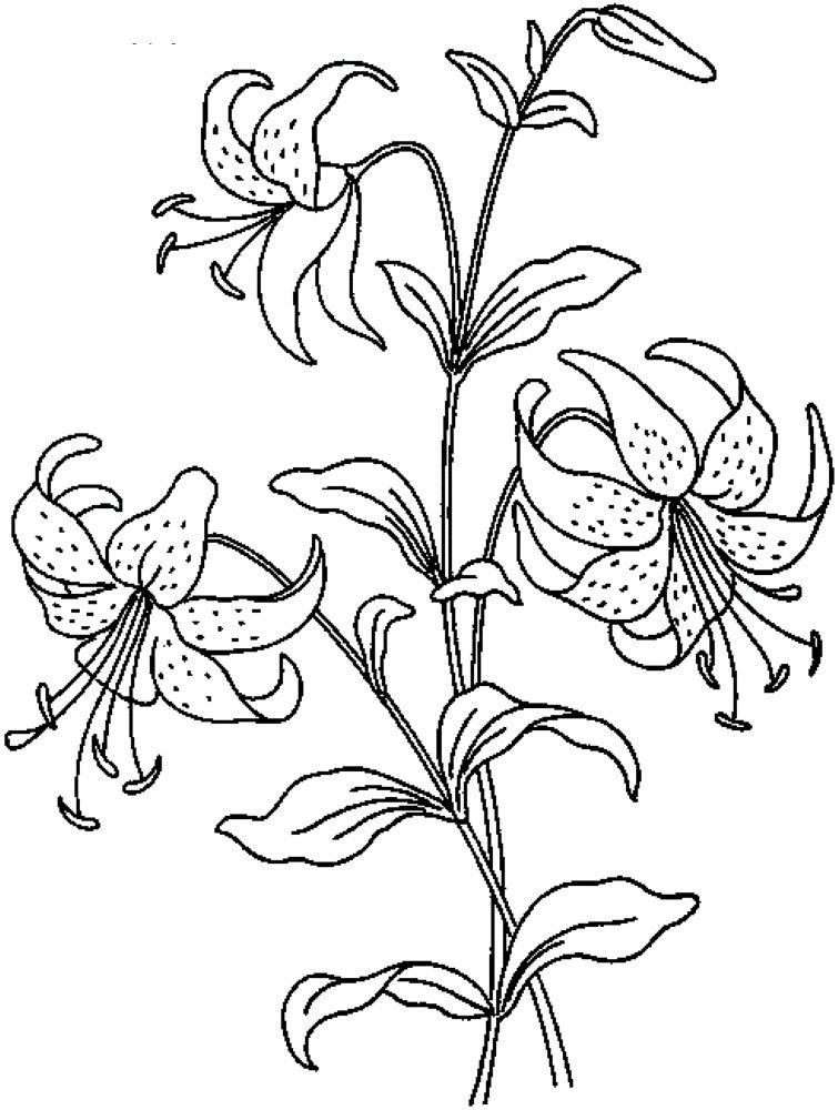 Realistic Flowers Coloring Pages Print Lilies drawing