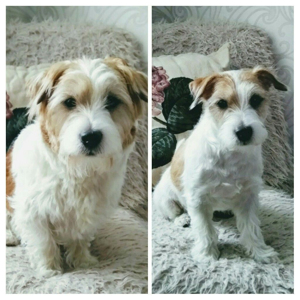Before And After Grooming Dogs Dog Haircuts Jack Russell Terrier Jack Russell