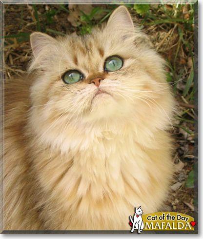 Shaded Golden Persian