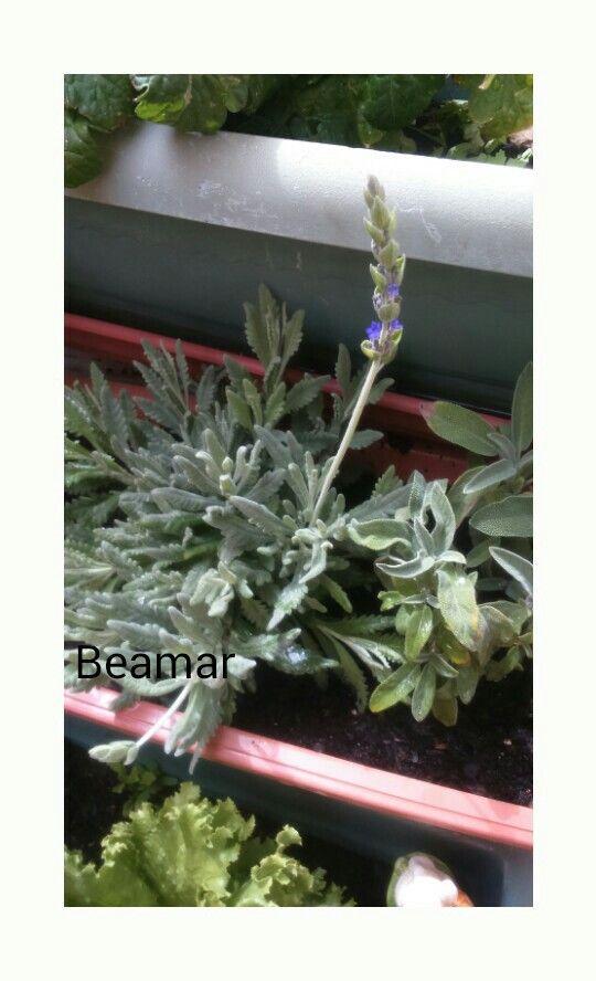Salvia y Lavanda