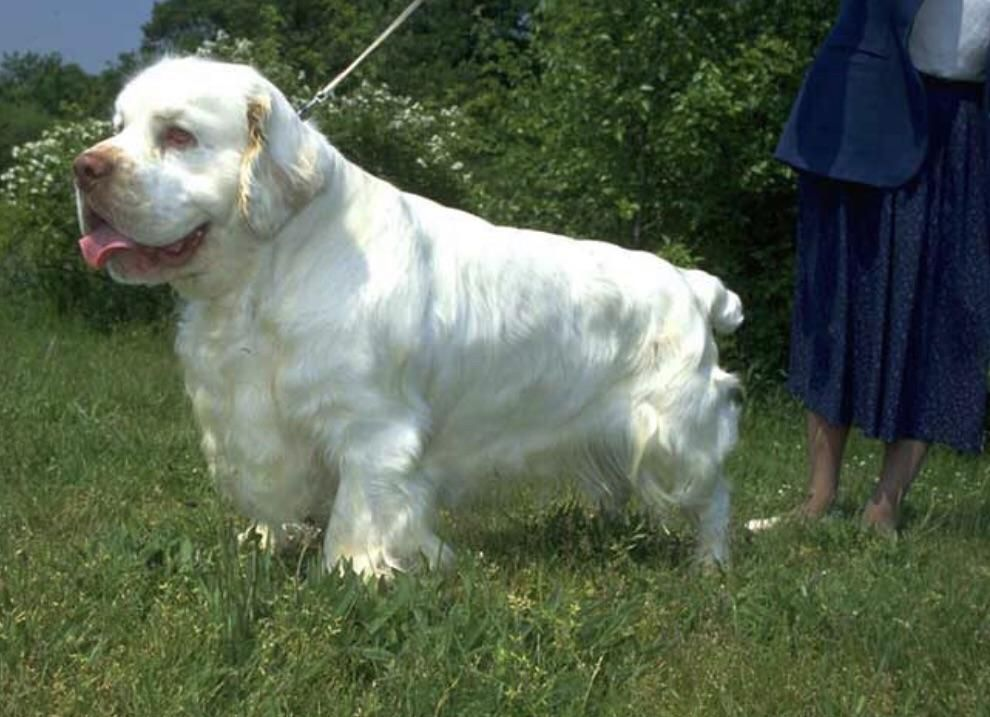 I Discovered The Magestic Clumber Spaniel At The Westminster Dog Show And Now I Want To Get In On This In 2020 Clumber Spaniel Clumber Spaniel Puppy Spaniel Puppies