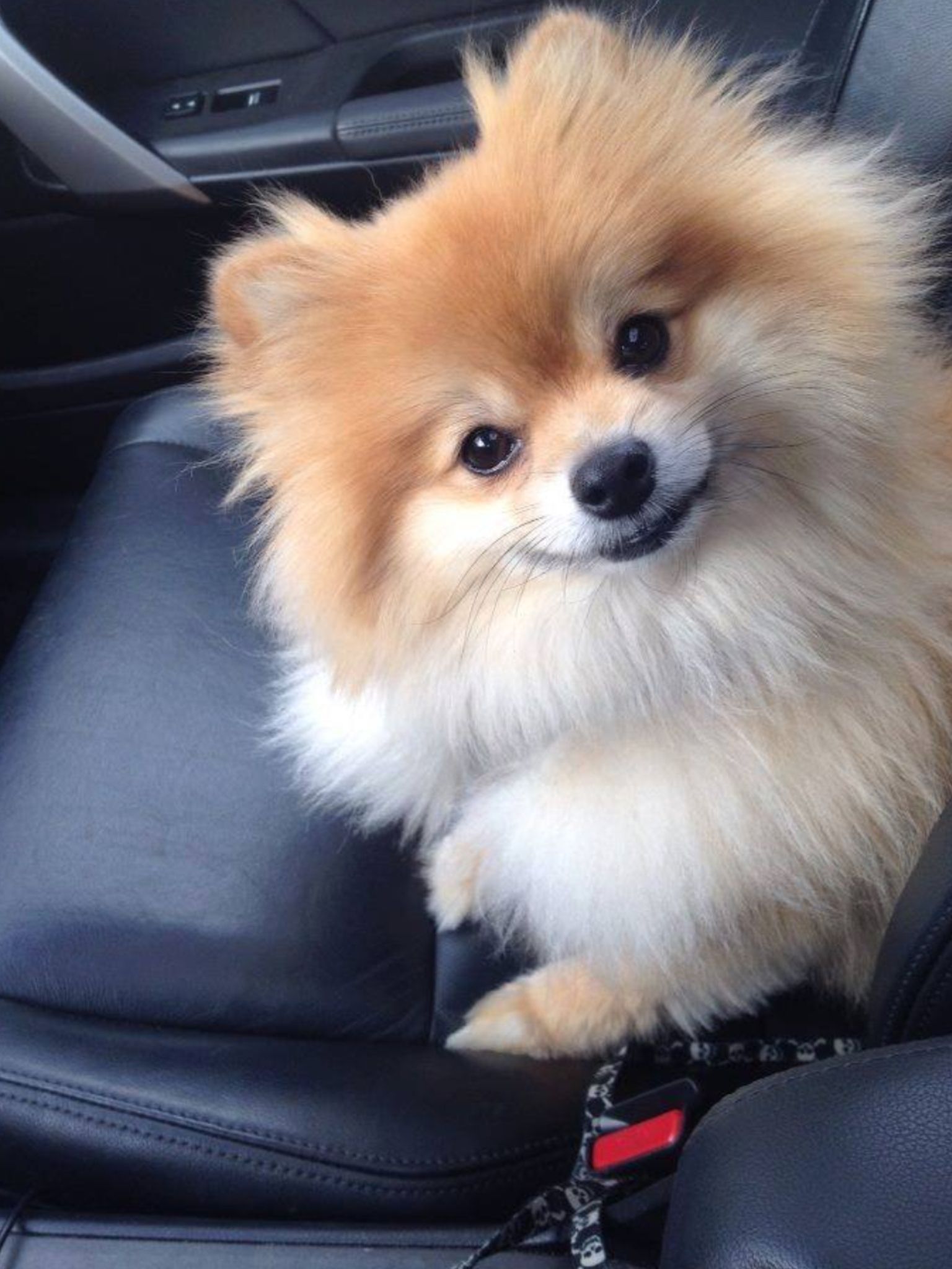 Pomeranian Dog Dogs Puppy Puppies Small Dogs Cute Dogs