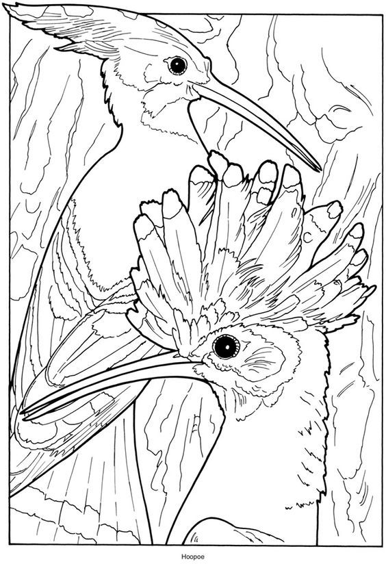 Creative Haven Exotic Birds Coloring Book Hoopoe Wildlife