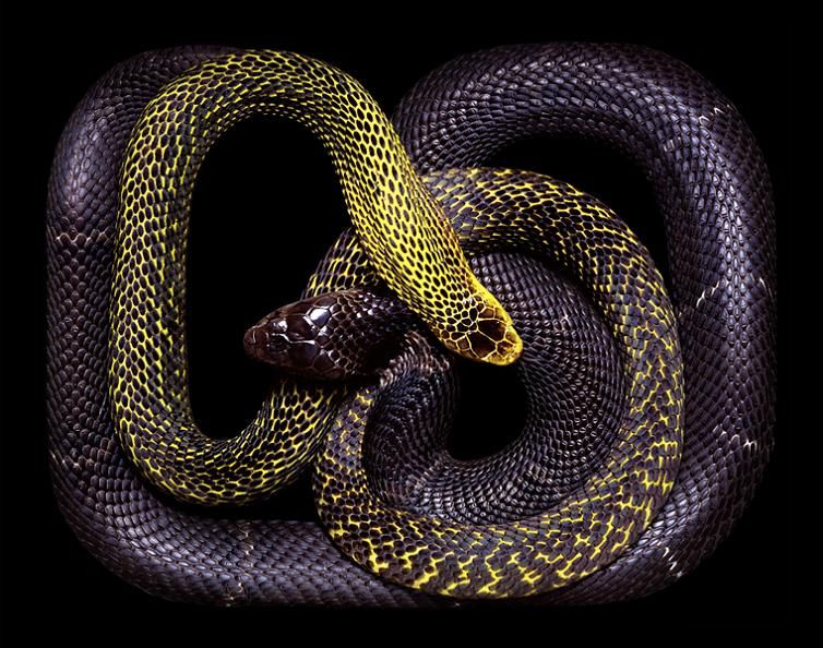 dark-purple-snake-art-guido-mocafico