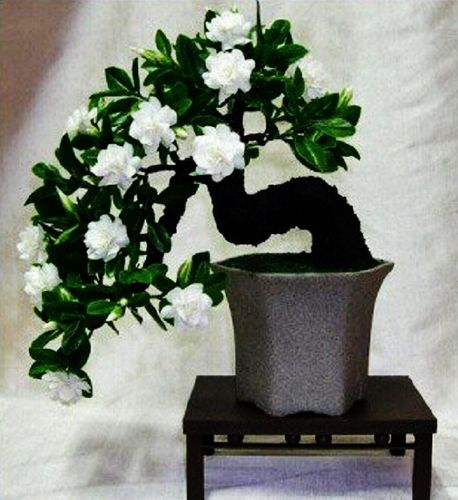 Cape Jasmine Bonsai 1 Seed Bonsai Plants Bonsai Seeds Beautiful Flowers