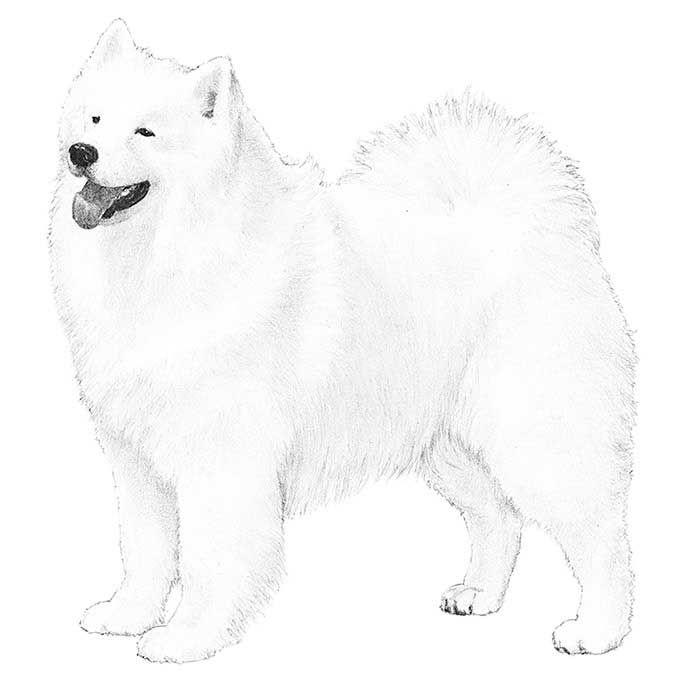 Samoyed Dog Breed Information D L Drawings Samoyed Dogs Samoyed