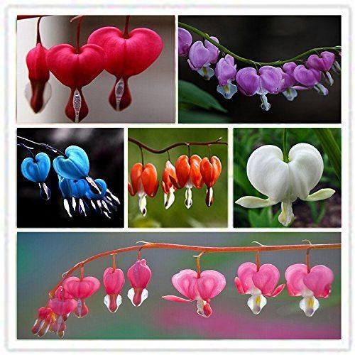 Amazon Com Dwqgroup 2016 Hot 6 Type 300pcs New Dicentra Spectabilis Sweet Heart Flower Seeds 01 Mix Pati Flower Seeds Growing Hibiscus Flowers Perennials