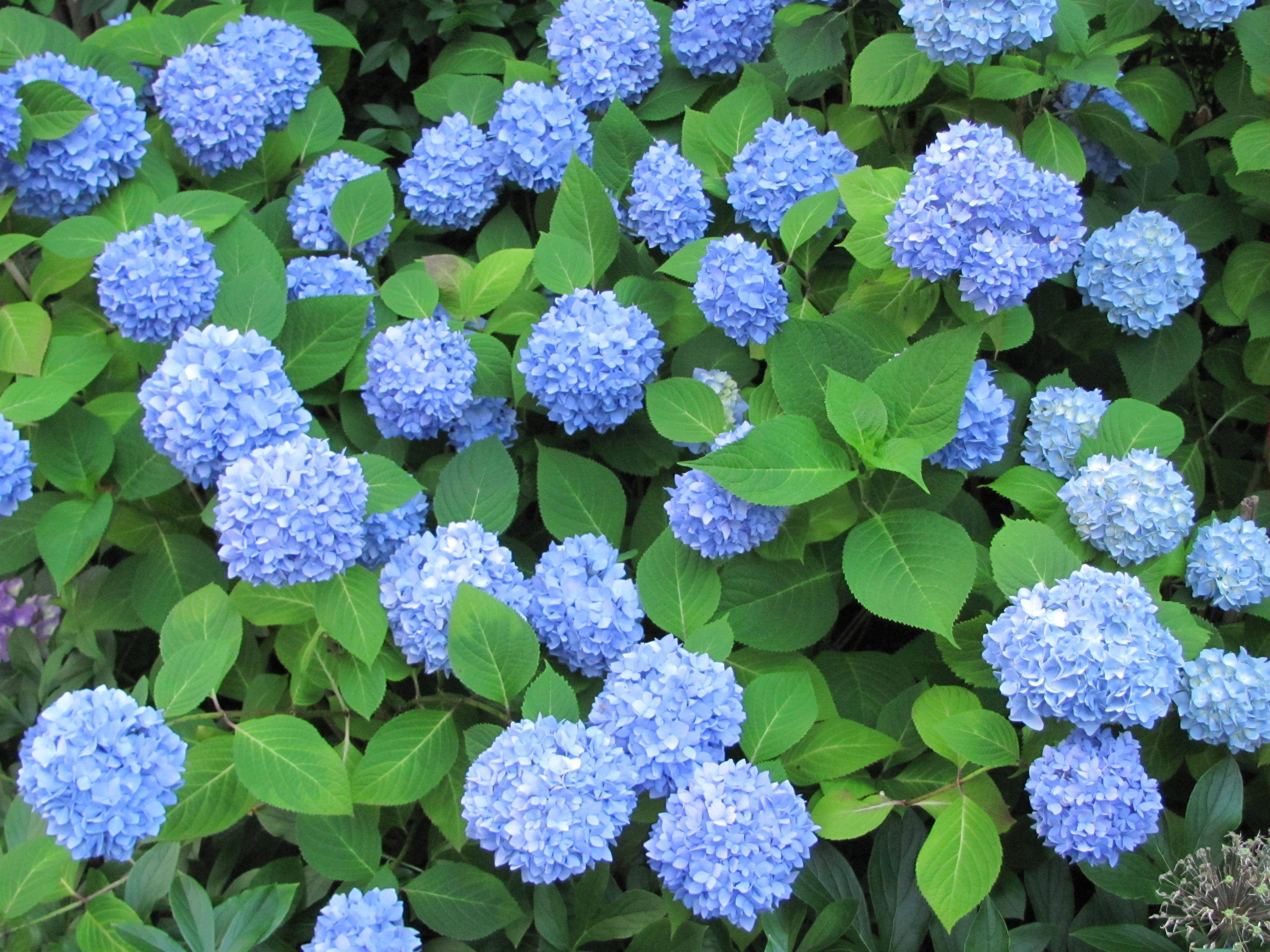 Hydrangea Nikko Blue Stays Blue All Summer Long Despite It S Soil Ph Blooms Early Mid Nikko Blue Hydrangea Blue Hydrangea Plant Blue Hydrangea Flowers
