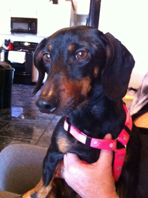 Available For Adoption In Florida Black And Tan Dachshund
