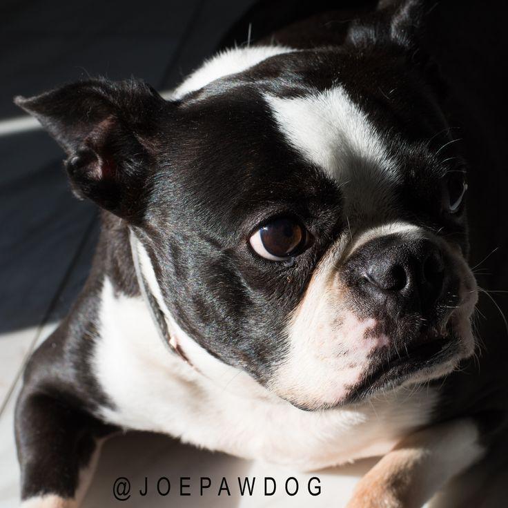 Joe paw dog in 2020 boston terrier boston terrier