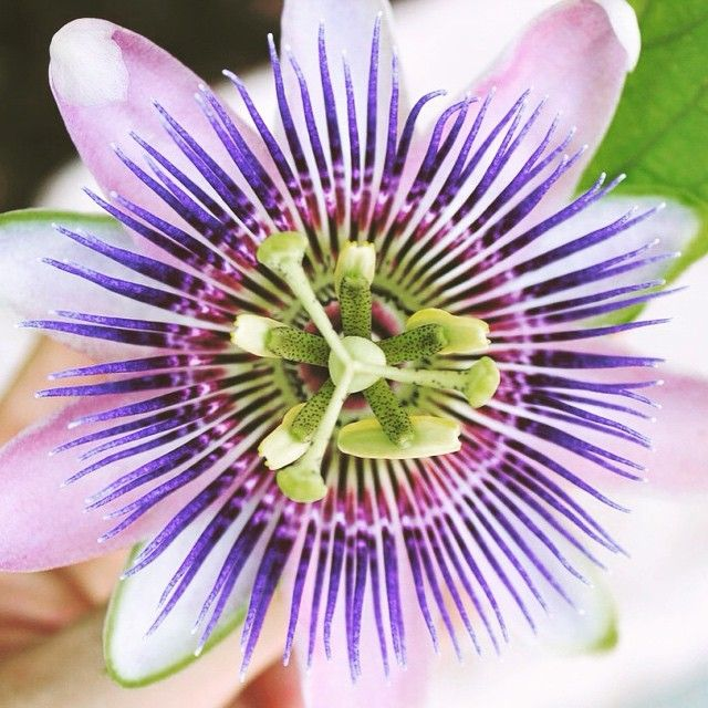 Begin Right Where You Are Bloom Where You Are Planted Sometimes Doing Something Or Becoming Someth Natural Headache Remedies Headache Remedies Passion Flower