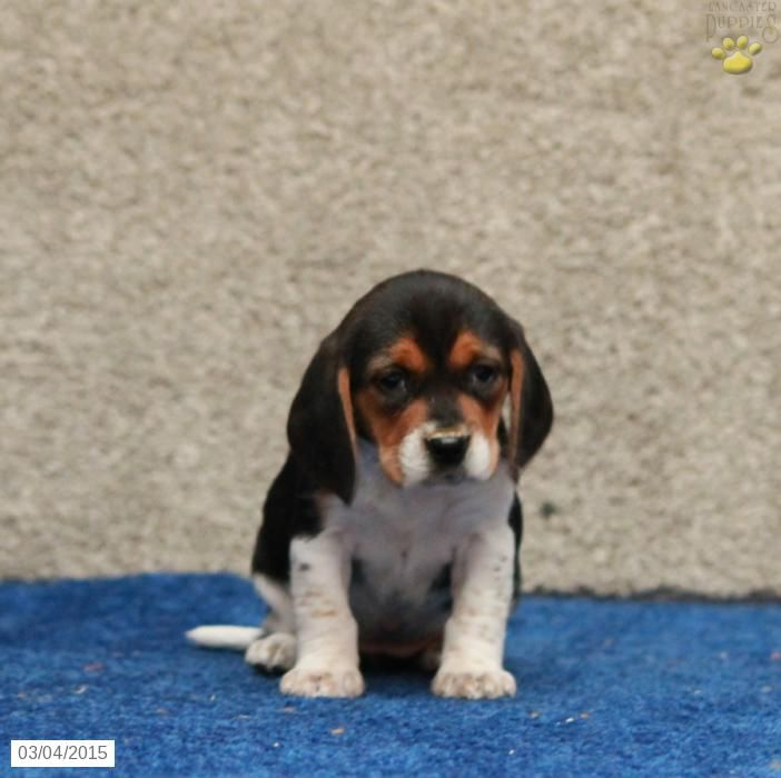 Brianna Beagle Puppy For Sale In Paradise Pa Beagle Puppy Puppies Puppies For Sale